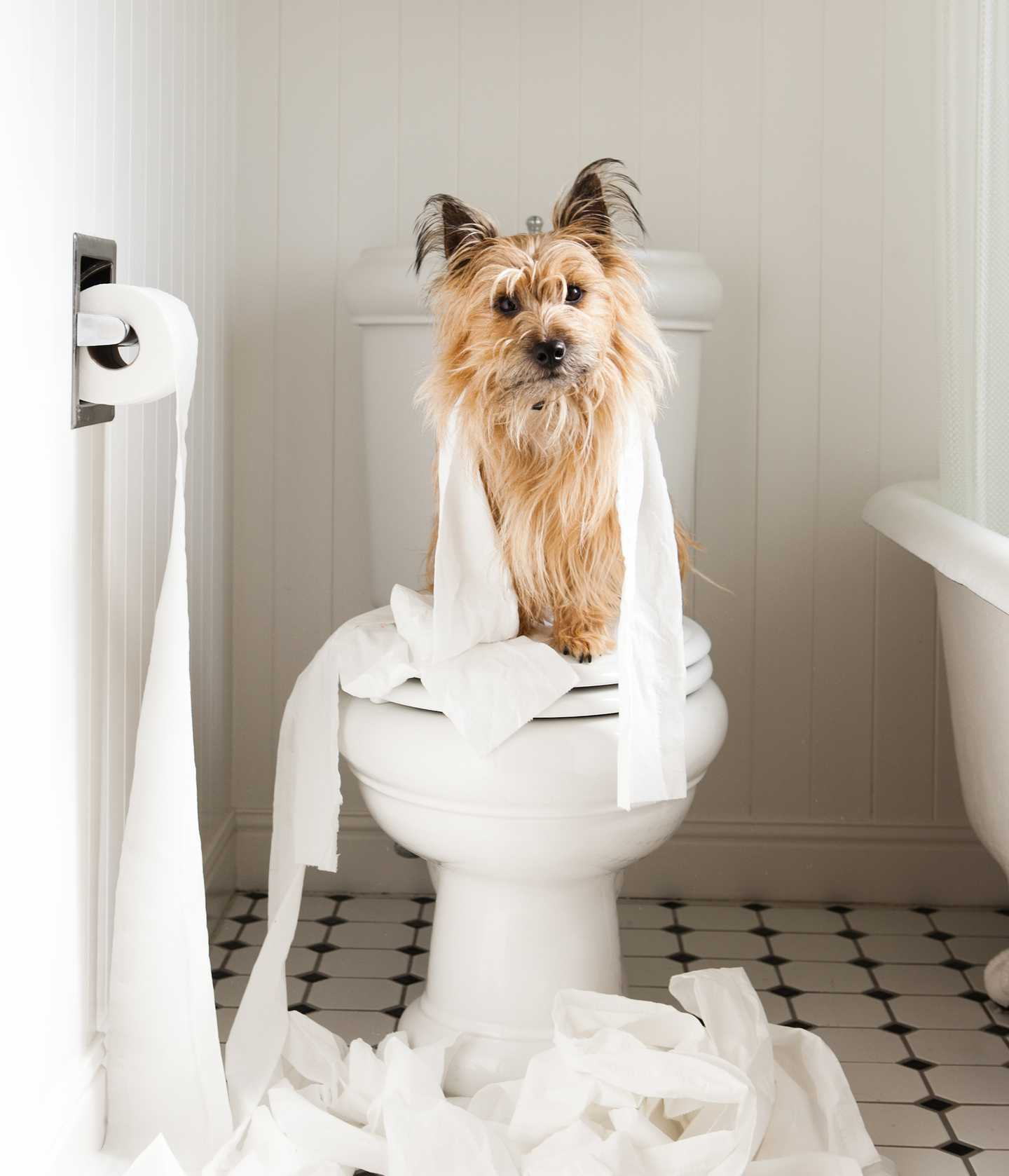 Small dog sitting on closed toilet with toilet paper strewn around