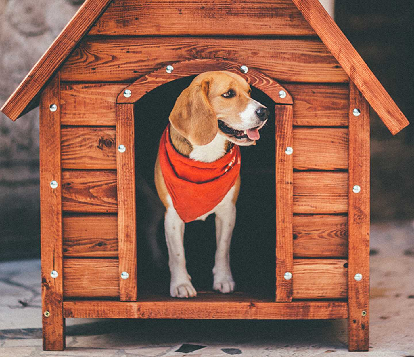 Beagle standing in the doorway of doghouse